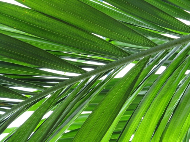 Palm Green Leaves Palm Leaf Plant Palm Tree Leaf